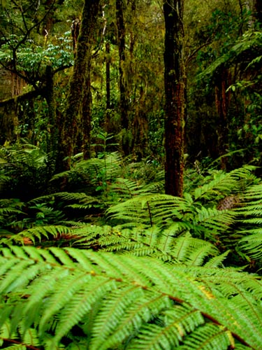 New Zealand ferns - Totara forests